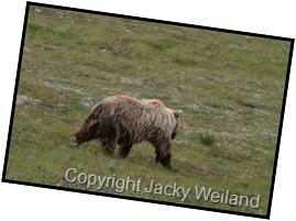 Grizzly - Parc de Denali