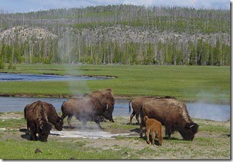 bisons près de Hotspring