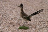 Greater Road Runner